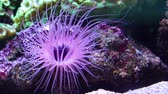 aquaculture : Closeup of a flower tube sea anemone shining purple light underwater, tropical animal specie from indo-pacific ocean Stock Footage