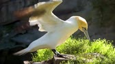coulis : closeup of a northern gannet on a rock flapping its wings dry, common coastal bird from Europe Vidéos Libres De Droits
