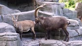 cheirando : Male alpine ibex smelling the behind of a female, typical animal behavior, wild mountain goat specie from the alps of europe Vídeos