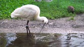 waterbird : closeup of a eurasian spoonbill bird wading in the water, common water bird specie Eurasia