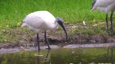 coulis : black headed oriental white ibis drinking water, Near threatened animal specie from Indonesia Vidéos Libres De Droits