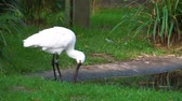 waterbird : closeup of a eurasian spoonbill preening its feathers, common bird specie from Eurasia Stock Footage