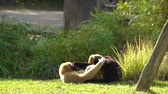 coulis : male and female northern white cheeked gibbon couple fighting with each other in a playful way, Social primate behavior, Critically endangered animal specie from Asia Vidéos Libres De Droits