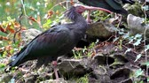 kel : closeup of a northern bald ibis walking and looking around, tropical and Endangered bird specie from Africa Stok Video