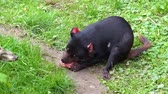 ausztrál : closeup of a tasmanian devil eating meat, Endangered animal specie from Tasmania in Australia Stock mozgókép