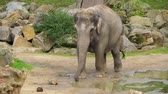 coulis : closeup of an asian elephant walking towards the camera, moving motion of an elephant, Endangered animal specie from Asia Vidéos Libres De Droits