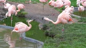 coulis : two lesser flamingos interacting with each other, Near threatened bird specie from America Vidéos Libres De Droits