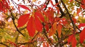 coulis : closeup of maple leaves waving in a gentle breeze or wind, Autumn season nature background