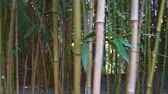 tronco de árvore : closeup of bamboo trunks in panning motion, tropical nature background