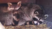 intimately : closeup of a common raccoon couple laying close together. Tropical animal specie from America
