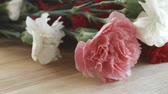 goździk : Close up of several pink and white carnations being picked up. Wideo