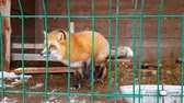 católico : Red Fox in a cage. Male of common red Fox in captivity behind bars. Carnivorous mammal of canine family of foxes in public nursery. Fox used in to obtain fur