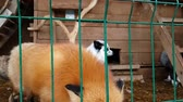católico : Red Fox in a cage. Male of common red Fox and female silver-black fox in captivity behind bars. Carnivorous mammal of canine family of foxes in public nursery. Silver-black Fox used in to obtain fur Stock Footage