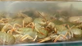 krill : Live crayfish in aquarium. Delicious crustaceans seafood in muddy waters. Crawfish move their claws and feelers move. Environmentally friendly arthropods behind glass at grocery hypermarket. Slowmo