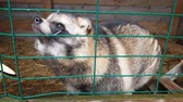 católico : Ussuri Raccoon dog in captivity behind bars. Raccoon dog, or Ussuri raccoon, or Fox, or Enoteca is predatory omnivorous mammal canine. Carnivorous mammal in public nursery in captivity behind bars