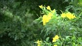 vine plant : Bumble bee on yellow elder flower Stock Footage