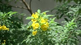 trumpet : Bumble bee on yellow elder flower Stock Footage
