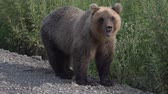 ursus : Hungry Kamchatka brown bear stands on the roadside of the gravel country road, breathes heavily and sniffs. Kamchatka Peninsula, Russian Far East, Eurasia.