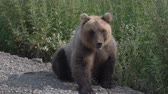ursus : Biggest hungry Kamchatka brown bear sits on the roadside of the gravel country road, breathes heavily and sniffs. Kamchatka Peninsula, Russian Far East, Eurasia. Stock Footage