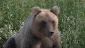 ursus : Portrait hungry Kamchatka brown bear breathes heavily and sniffs. Kamchatka Peninsula, Russian Far East, Eurasia.