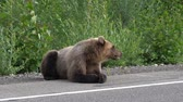 bear habitat : Hungry Kamchatka brown bear lies on roadside of asphalt road, heavily breathing, sniffing and looking around. Kamchatka Peninsula, Russian Far East, Eurasia.