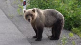 ursus : Hungry Kamchatka brown bear stands on roadside of asphalt road, heavily breathing, sniffing and looking around. Kamchatka Peninsula, Russian Far East, Eurasia.