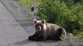 bear habitat : Hungry Kamchatka brown bear lies on roadside of asphalt road, heavily breathing, sniffing and looking around. Eurasia, Russian Far East, Kamchatka Peninsula. Stock Footage