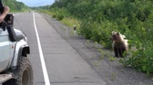 ursus : Male in off-road car shoots on smartphone through window of Kamchatka brown bear that stands on road and begs for food from people transit on highway. Eurasia, Russian Far East, Kamchatka Peninsula.