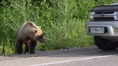 ursus : KAMCHATKA PENINSULA, RUSSIAN FAR EAST - AUGUST 4, 2018: Young hungry Kamchatka brown bear walking along road and begs food from people in passing automobiles on highway.