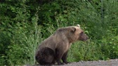 ursus : Hungry Kamchatka brown bear lies on the roadside of asphalt road, heavily breathing, sniffing and looking around. Kamchatka Peninsula, Eurasia, Russian Far East.