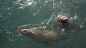 rookery : Wild animals Steller Sea Lion or Northern Sea Lion (Eumetopias Jubatus) swims in sea, looking at camera. Eurasia, Russian Far East, Kamchatka Peninsula, Pacific Ocean, Avacha Bay, Petropavlovsk City. Stock Footage