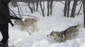 alaskan : PETROPAVLOVSK CITY, KAMCHATKA PENINSULA, RUSSIAN FAR EAST - FEB 2, 2019: Woman and man play snowballs with two dogs of husky breed before winter sport competition - skijor racing and sled dog racing. Stock Footage