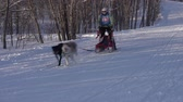 норвежский : KAMCHATKA PENINSULA, RUSSIA - FEB 2, 2019: Group of dog sleds riding in forest. Open Team Championship of Petropavlovsk-Kamchatsky City in winter sports mushing disciplines - relay dog sled racing