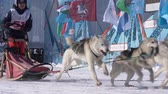 trenó : PETROPAVLOVSK KAMCHATSKY CITY, KAMCHATKA PENINSULA, RUSSIA - FEB 21, 2019: Running husky dog sled young musher through stadium. Kamchatka Kids Competitions Sled Dog Race Dyulin Beringia. Slow motion
