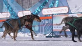 норвежский : PETROPAVLOVSK KAMCHATSKY CITY, KAMCHATKA PENINSULA, RUSSIA - FEBRUARY 21, 2019: Kamchatka Kids Competitions Dog Sled Racing Dyulin Beringia. Running dog sled young musher through stadium. Slow motion Стоковые видеозаписи