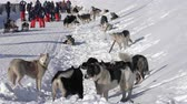 alaskan : PETROPAVLOVSK CITY, KAMCHATKA PENINSULA, RUSSIAN FAR EAST - FEBRUARY 21, 2019: Group of dogs jump, bite, sniff each other before winter sport competition - Kamchatka Kids Dog Sled Race Dyulin Beringia