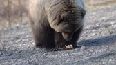 hot dog : Hungry wild Kamchatka brown bear eats hot dog, which was given by people. Bear came out to people in spring because of hunger and available human food. Eurasia, Russian Far East, Kamchatka Peninsula. Telephoto lens, handheld shot Stock Footage