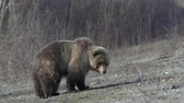 クマ : Wild hungry and terrible Kamchatka brown bear (Far Eastern brown bear) walking on stones in early spring forest in search of food. Kamchatka Peninsula, Russian Far East, Eurasia. Telephoto lens, handh