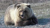 ursus : Wild hungry Kamchatka brown bear lies on stones, breathes heavily and looking around. Extreme dangerous shot in vicinity of beast of prey. Kamchatka Russian Far East, Peninsula Eurasia.  Telephoto lens, handheld shot Stock Footage