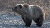longe : Hungry terrible wild Kamchatka brown bear (Far Eastern brown bear) walking on stones in early spring forest in search of food. Kamchatka Peninsula, Russian Far East, Eurasia. Zoom in