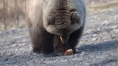 ursus : Hungry wild Kamchatka brown bear eats hot dog, which he given stupid people. Bear came out to people in spring because of hunger and available human food. Russian Far East Kamchatka Peninsula. Zoom in Stock Footage