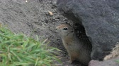 kamchatka peninsula : Curious but cautious wild animal Arctic ground squirrel peeps out of hole under stone and looking around so as not to fall into jaws of predatory beasts. Kamchatka Peninsula, Russian Far East, Eurasia Stock Footage