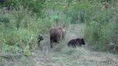 longe : Kamchatka brown she-bear come out forest with three bear cubs and walking along country road with funny yearling beasts. Wild animals in natural habitat. Eurasia, Russian Far East, Kamchatka Peninsula