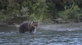 besta : Hungry Kamchatka brown bear (Ursus arctos piscator) standing in water and fishing red salmon fish. Animal in natural habitat. Wild beast fishing during spawning of sockeye fish in river. Eurasia, Russian Far East, Kamchatka Peninsula. Vídeos