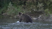 Wild hungry Kamchatka brown bear walking on river, looking around in search of food - red salmon fish during spawning of sockeye salmon. Wildlife animal in natural habitat. Russia, Kamchatka Peninsula Dostupné videozáznamy
