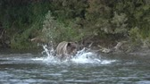 Hungry Kamchatka brown bear (Ursus arctos piscator) running in spray of water, chasing red salmon fish. Wild beast fishing during spawning of sockeye fish in river. Animal in natural habitat. Eurasia, Russian Far East, Kamchatka Peninsula.