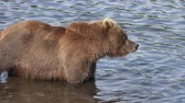 zalm : Hungry brown bear standing in water, looking around in search of food - red salmon fish. Animal in natural habitat. Wild beast fishing during spawning. Eurasia, Russian Far East, Kamchatka Peninsula