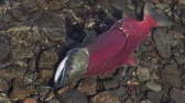 tichý oceán : Wild red salmon fish Sockeye Salmon Oncorhynchus nerka swimming in shallow water in river, breathes heavily. Pacific salmon red color during spawning, dying after spawn. Slow motion, close-up view.