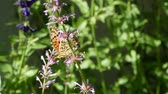 cobre : Orange Butterfly or Leopard Lacewing Butterfly on flower and flying out of flowers in flower garden in morning. Butterfly video footage.