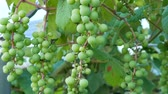 vinná réva : Zoom out footage of young green grape on grapevine in farm.